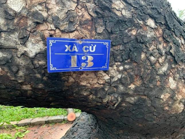 'Cụ' xà cừ số 13 cổ nhất tại Huế bị bão cùng tên quật đổ bật cả gốc gây tiếc nuối ảnh 1