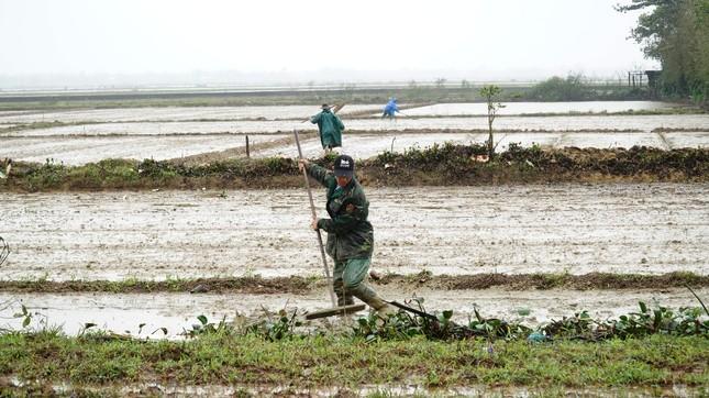 Nông dân Huế xuống đồng dầm mình giữa mưa rét như cắt da thịt ảnh 1