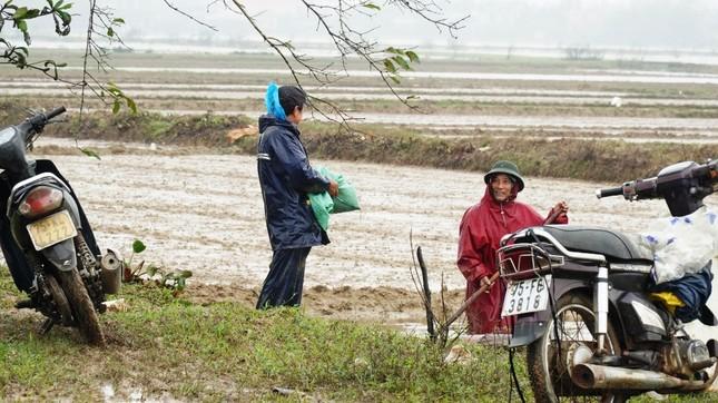 Nông dân Huế xuống đồng dầm mình giữa mưa rét như cắt da thịt ảnh 6