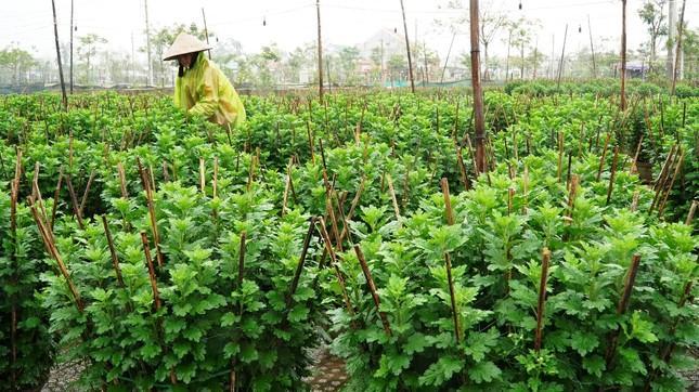 Nông dân Huế xuống đồng dầm mình giữa mưa rét như cắt da thịt ảnh 7