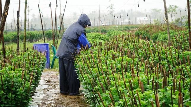 Nông dân Huế xuống đồng dầm mình giữa mưa rét như cắt da thịt ảnh 12