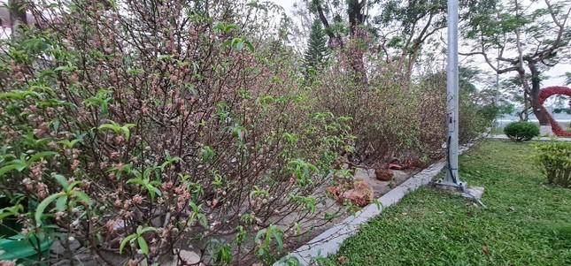 Vùng cao xứ Huế sắp có rừng hoa đào từ những gốc đào cảnh trưng Tết ảnh 1