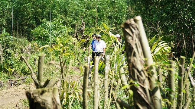 Đua nhau trồng cây phủ kín vườn chờ… đền bù ở TT-Huế ảnh 11