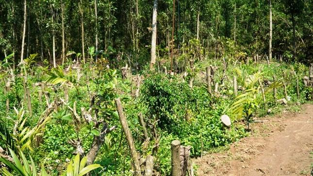 Đua nhau trồng cây phủ kín vườn chờ… đền bù ở TT-Huế ảnh 2