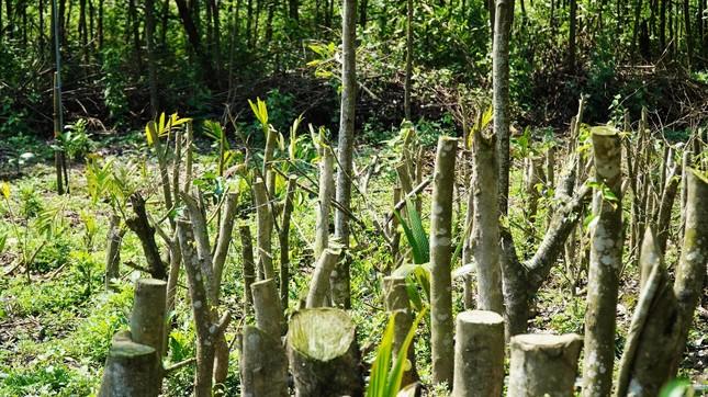 Đua nhau trồng cây phủ kín vườn chờ… đền bù ở TT-Huế ảnh 3