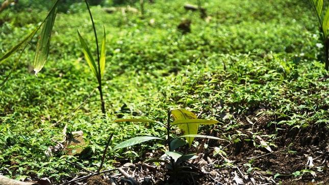 Đua nhau trồng cây phủ kín vườn chờ… đền bù ở TT-Huế ảnh 6