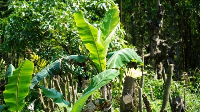 Đua nhau trồng cây phủ kín vườn chờ… đền bù ở TT-Huế ảnh 4