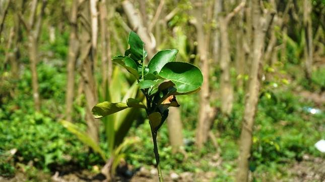 Đua nhau trồng cây phủ kín vườn chờ… đền bù ở TT-Huế ảnh 5