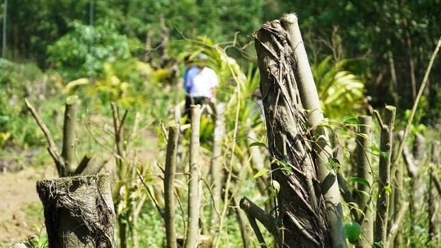 Đua nhau trồng cây phủ kín vườn chờ… đền bù ở TT-Huế ảnh 7