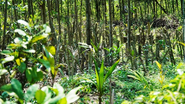 Đua nhau trồng cây phủ kín vườn chờ… đền bù ở TT-Huế ảnh 10