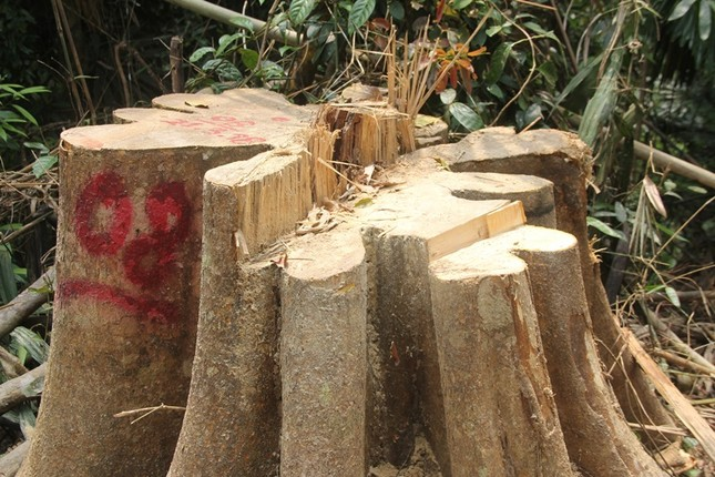 'Xẻ thịt' rừng phòng hộ Quảng Nam ảnh 4