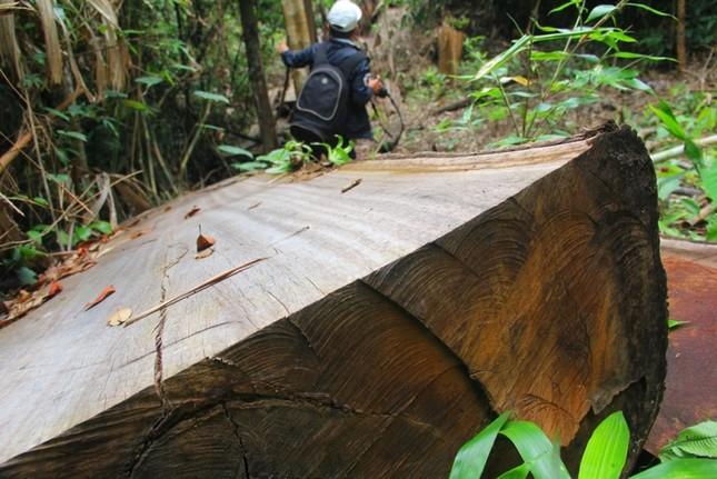 'Xẻ thịt' rừng phòng hộ Quảng Nam ảnh 2
