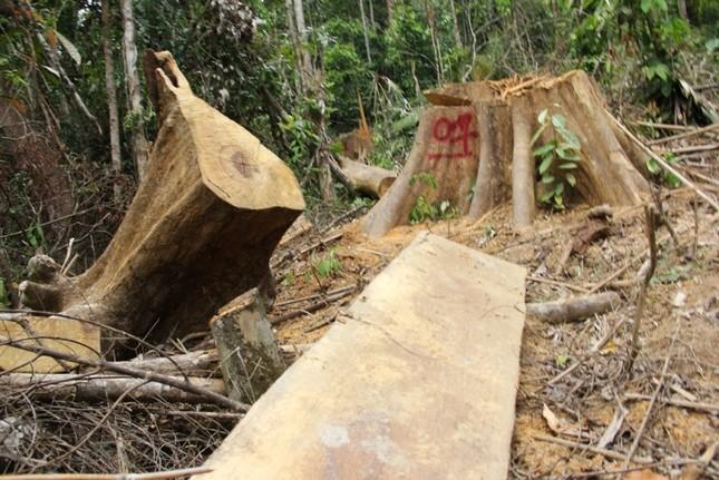 'Xẻ thịt' rừng phòng hộ Quảng Nam ảnh 3