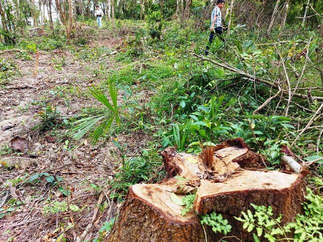 Chặt 'nhầm' cây lâu năm ở rừng phòng hộ di sản Mỹ Sơn đem... bán ảnh 1