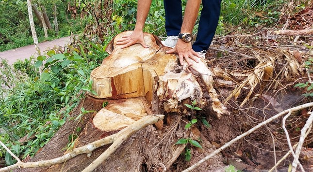 Chặt 'nhầm' cây lâu năm ở rừng phòng hộ di sản Mỹ Sơn đem... bán ảnh 4