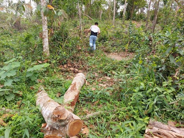 Chặt 'nhầm' cây lâu năm ở rừng phòng hộ di sản Mỹ Sơn đem... bán ảnh 5