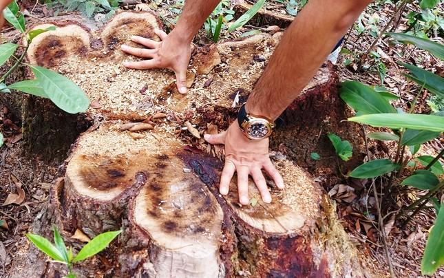 Chặt 'nhầm' cây lâu năm ở rừng phòng hộ di sản Mỹ Sơn đem... bán ảnh 2