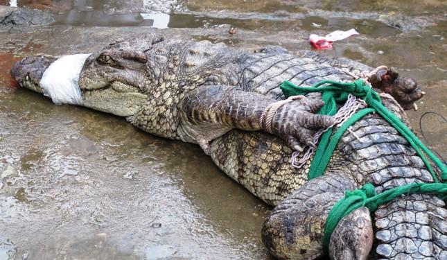Cá sấu hơn nửa tạ sổng chuồng ở Cà Mau ảnh 1