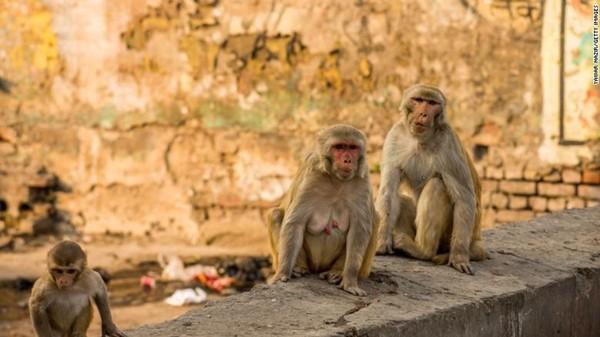 Chỉ có thể ở Ấn Độ: Bầy khỉ giật và ném các mẫu máu của bệnh nhân COVID-19 ảnh 1