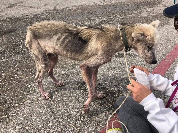 """Từng bị chủ bỏ đói để trả thù, chú chó husky đã """"biến hình"""" ngoạn mục khi được chăm sóc ảnh 1"""