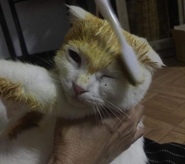 Cố chữa nấm cho mèo, cô chủ khiến em mèo biến thành màu vàng hoe như Pikachu ảnh 2