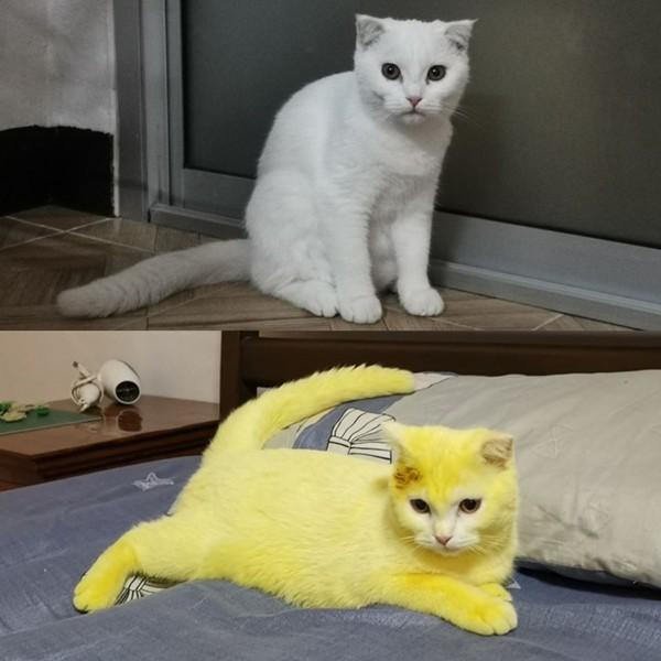 Cố chữa nấm cho mèo, cô chủ khiến em mèo biến thành màu vàng hoe như Pikachu ảnh 1