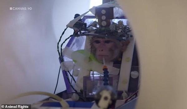 Trường đại học Bỉ gây phẫn nộ vì làm thí nghiệm tàn nhẫn dùng xi-măng gắn ống vào đầu khỉ ảnh 2