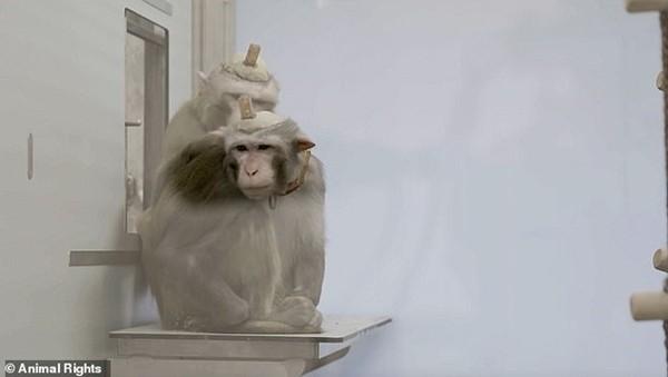 Trường đại học Bỉ gây phẫn nộ vì làm thí nghiệm tàn nhẫn dùng xi-măng gắn ống vào đầu khỉ ảnh 3