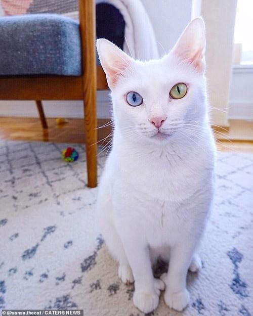 Bé mèo bị chủ cũ vứt đi chỉ vì 2 mắt có 2 màu khác nhau đã tìm được gia đình mới ảnh 2