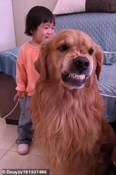 Chú chó bảo vệ cô bé bị mẹ mắng dễ thương thế này, tại sao lại bị cộng đồng mạng nghi ngờ? ảnh 3