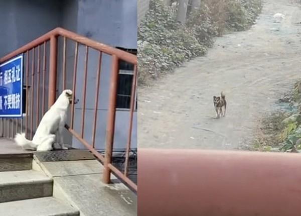 Bị ngăn cách bởi tường rào trường đại học, hai chú chó cứ ngồi đợi nhau kể cả lúc trời mưa ảnh 1
