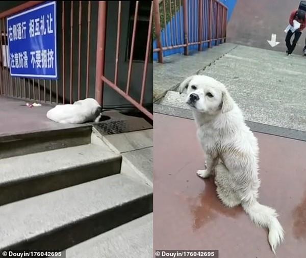 Bị ngăn cách bởi tường rào trường đại học, hai chú chó cứ ngồi đợi nhau kể cả lúc trời mưa ảnh 2