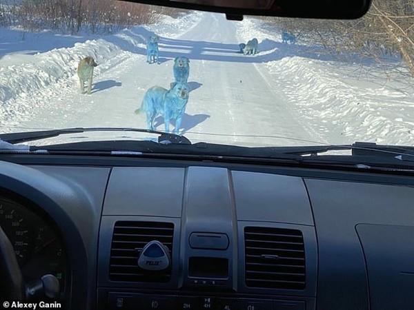 Những chú chó hoang với bộ lông màu xanh da trời khiến ai cũng sốc: Chuyện gì đang xảy ra vậy? ảnh 1