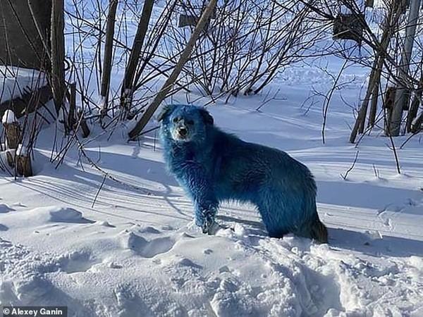 Những chú chó hoang với bộ lông màu xanh da trời khiến ai cũng sốc: Chuyện gì đang xảy ra vậy? ảnh 2