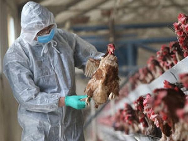Tổ chức Y tế Thế giới cảnh báo khi virus H5N8 đã lây từ gà sang người: Nguy hiểm thế nào? ảnh 1