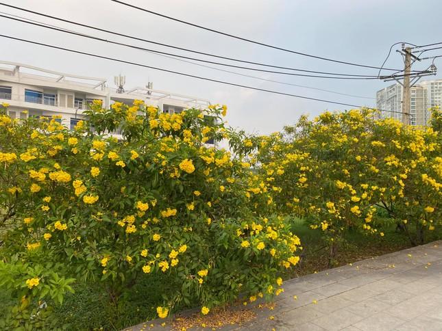 Con đường hoa hoàng yến rực rỡ một góc trời, teen Sài Gòn rủ nhau check-in đón Tết ảnh 1