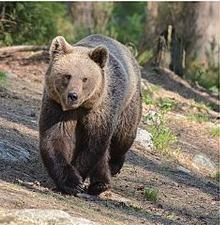 Hai du khách Nga trốn vé vào Công viên Quốc gia rồi đấm xỉu chú gấu vì tưởng là bảo vệ soát vé ảnh 1