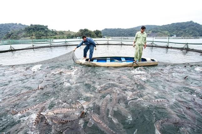 Trại cá tầm 100 tỷ đồng giữa lòng hồ thủy điện Sơn La ảnh 2