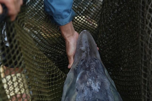 Trại cá tầm 100 tỷ đồng giữa lòng hồ thủy điện Sơn La ảnh 5