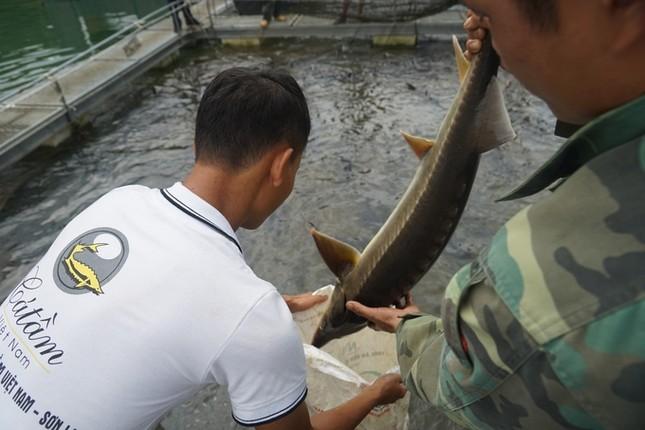 Trại cá tầm 100 tỷ đồng giữa lòng hồ thủy điện Sơn La ảnh 8