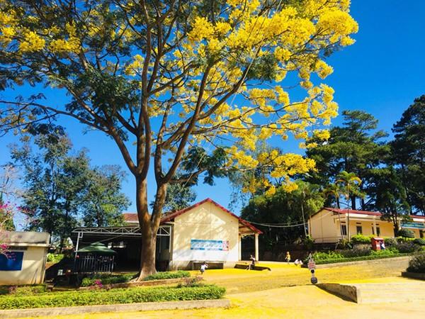 Cây phượng vàng độc đáo ra hoa giữa mùa Đông khiến học trò mê mẩn ảnh 2