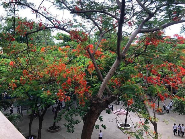 Rà soát cây xanh trường học toàn thành phố, phượng buồn không chỉ là tên một bài hát ảnh 4