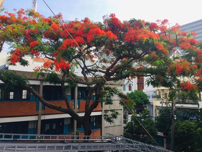 Rà soát cây xanh trường học toàn thành phố, phượng buồn không chỉ là tên một bài hát ảnh 3