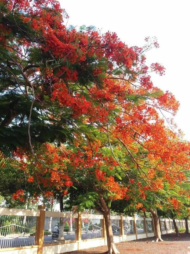 Rà soát cây xanh trường học toàn thành phố, phượng buồn không chỉ là tên một bài hát ảnh 5