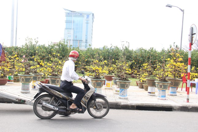 Đà Nẵng: Hoa mai thi nhau 'cười', người bán mếu ảnh 1