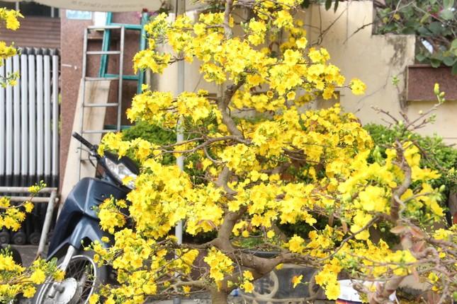 Đà Nẵng: Hoa mai thi nhau 'cười', người bán mếu ảnh 5