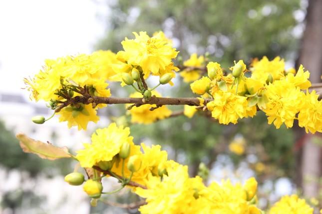 Đà Nẵng: Hoa mai thi nhau 'cười', người bán mếu ảnh 6