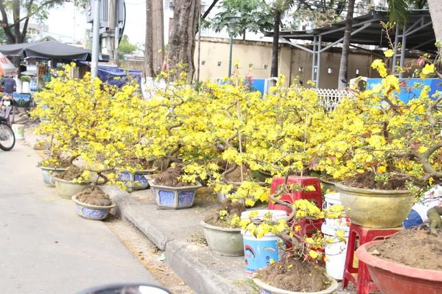 Đà Nẵng: Hoa mai thi nhau 'cười', người bán mếu ảnh 2