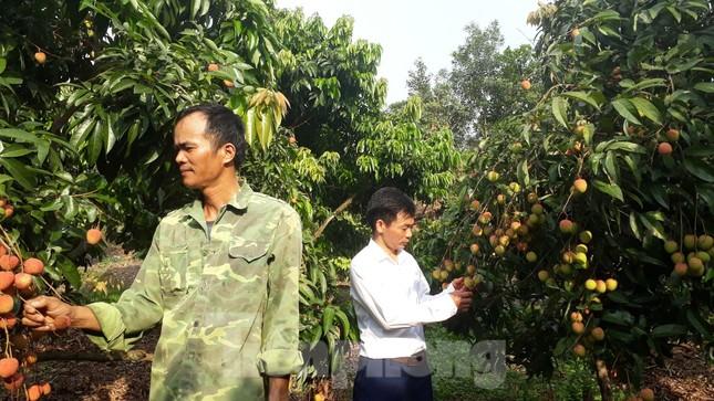 Cho 309 thương nhân Trung Quốc sang Việt Nam mua vải thiều ảnh 1