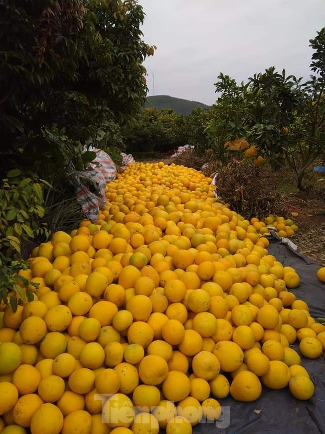 Mãn nhãn vườn cây quả vàng rực rỡ trước Tết ở Bắc Giang ảnh 4